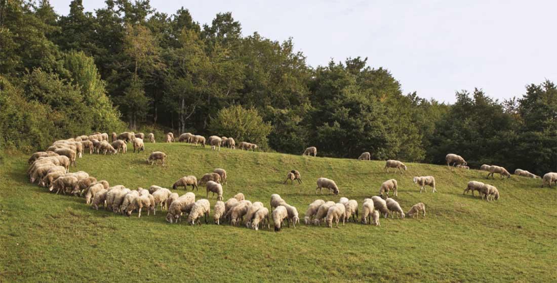 gregge pecore cornigliesi